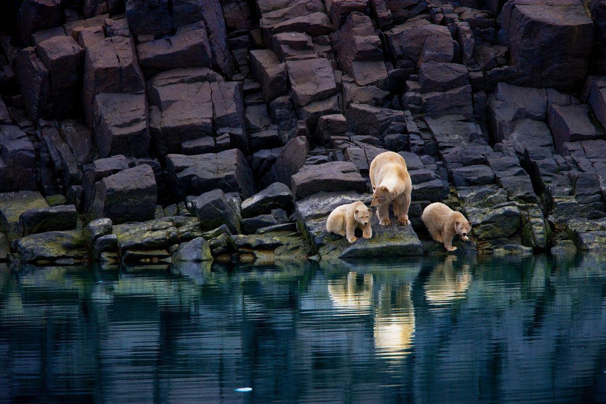 Uma mãe urso-polar e as suas crias numa linha costeira rochosa, em Svalbard. Os ursos-polares dependem ...
