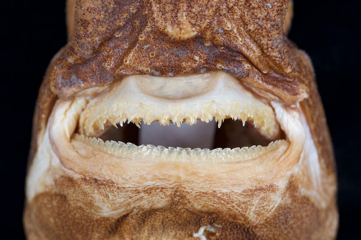 O Etmopterus lailae possui também menos dentes que outras espécies de tubarão