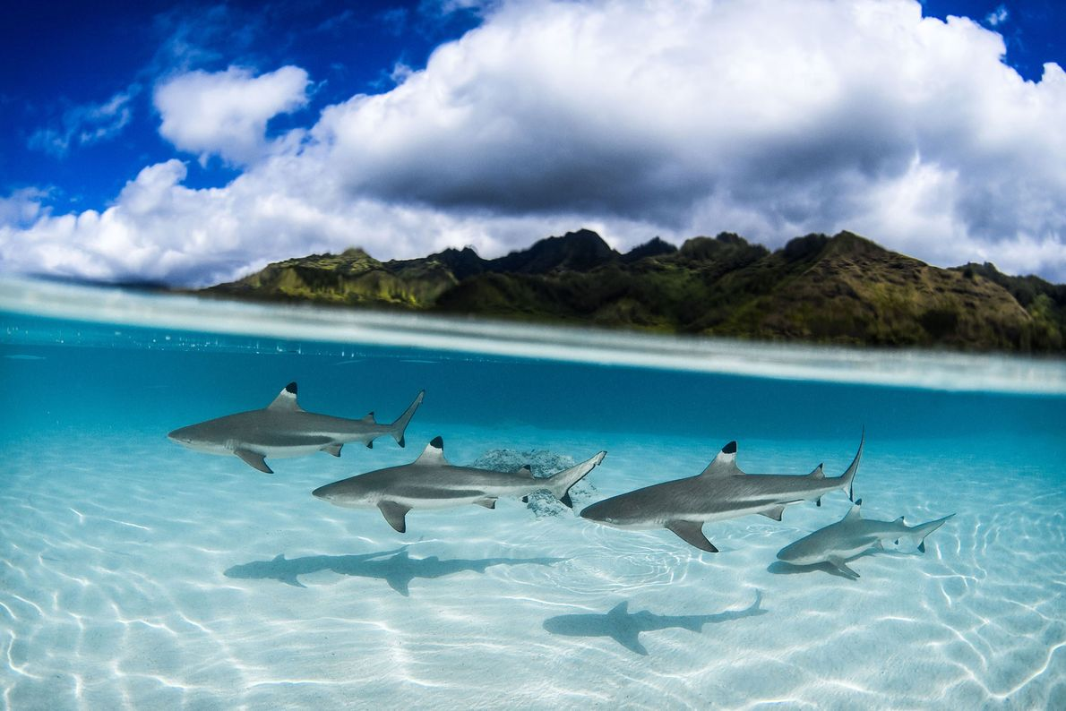 Tubarões-galha-preta na Polinésia Francesa