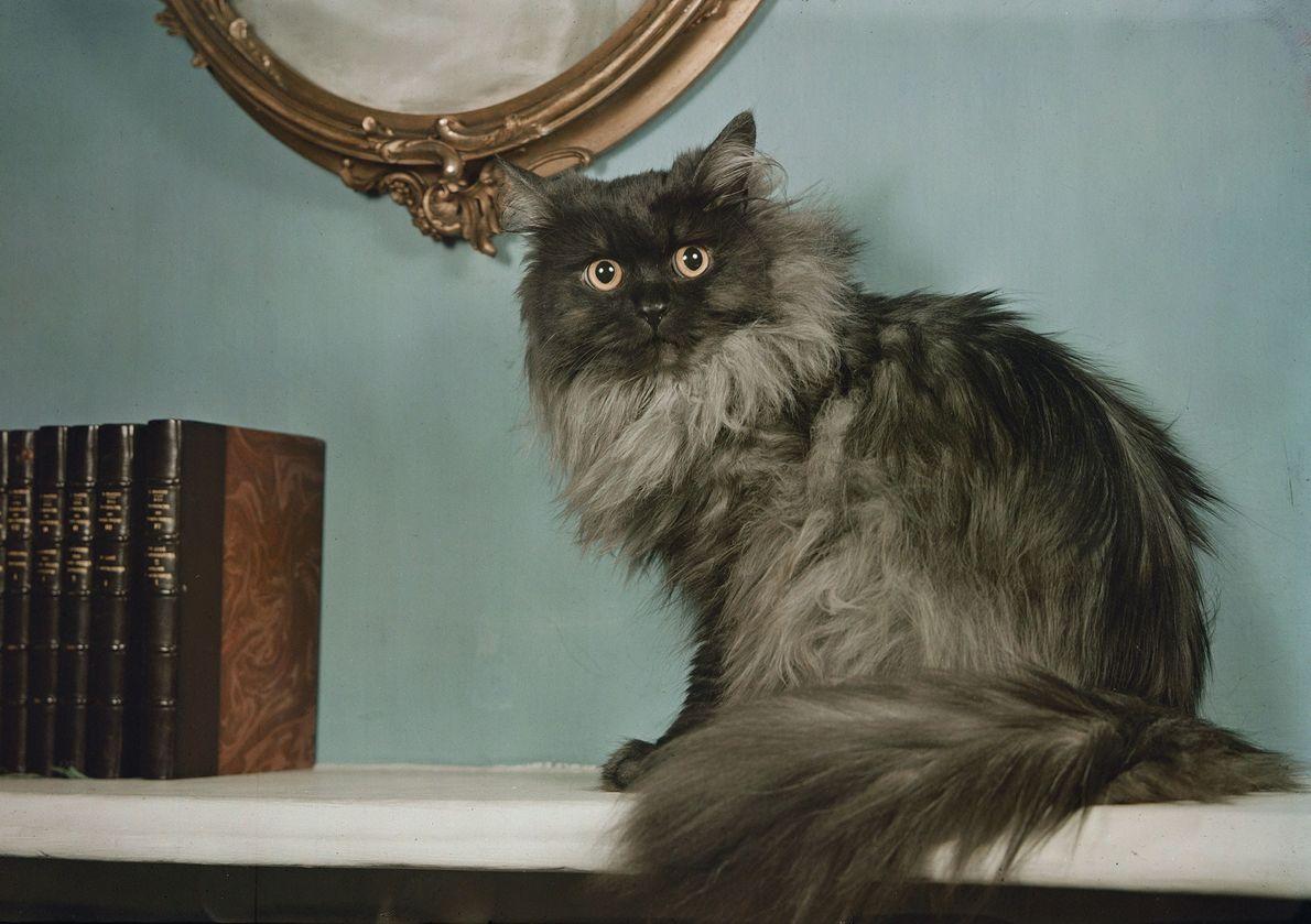 Um gato persa.
