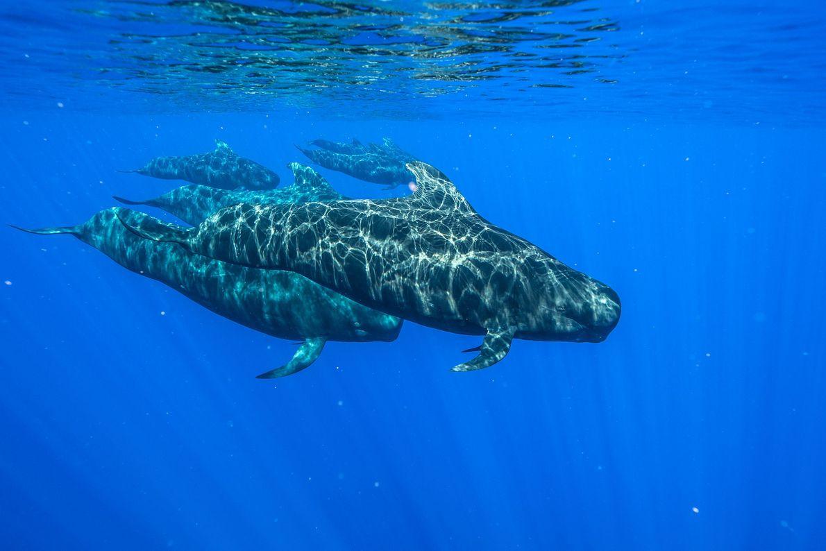 Baleias-piloto nadam nas águas de Kona, Havai.