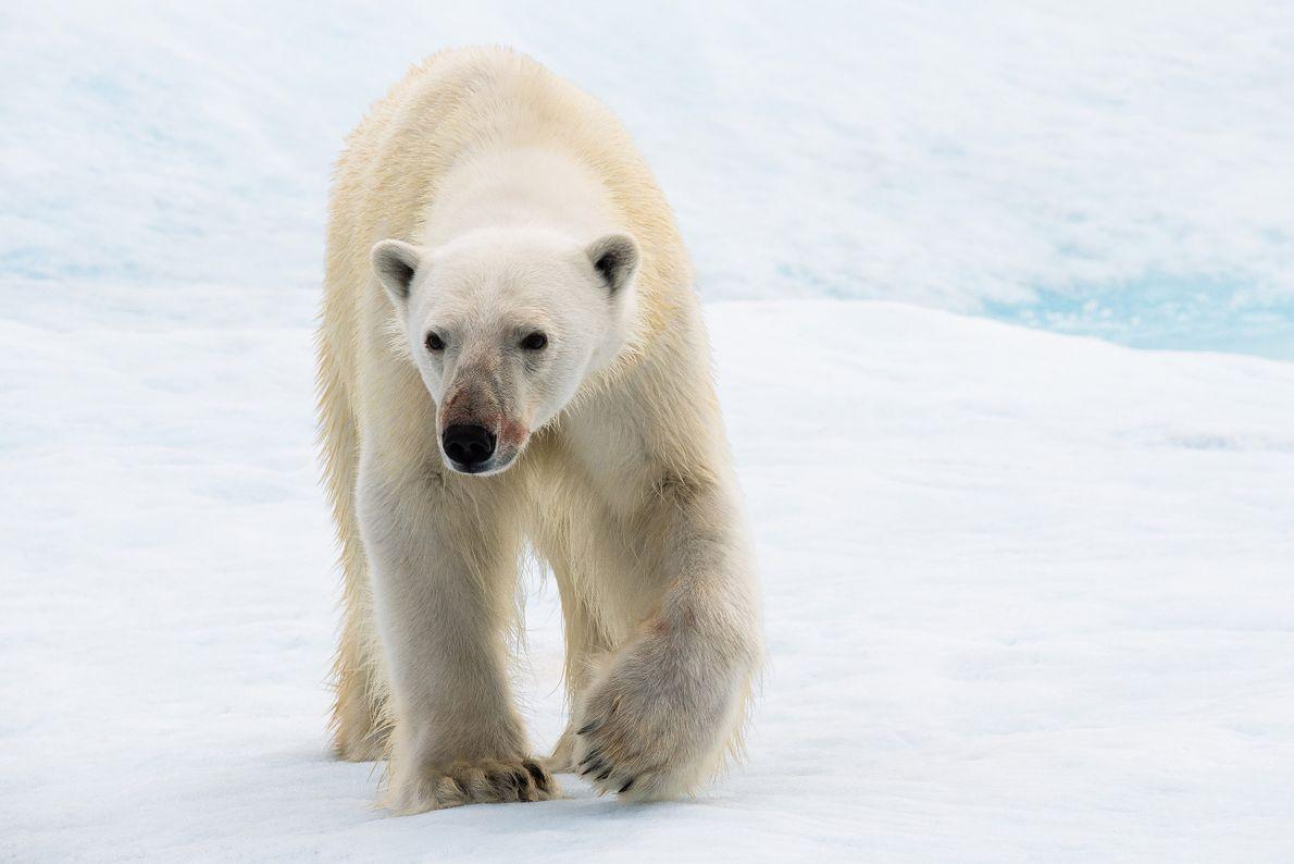 Urso polar atravessa o gelo em Nunavut, Canadá