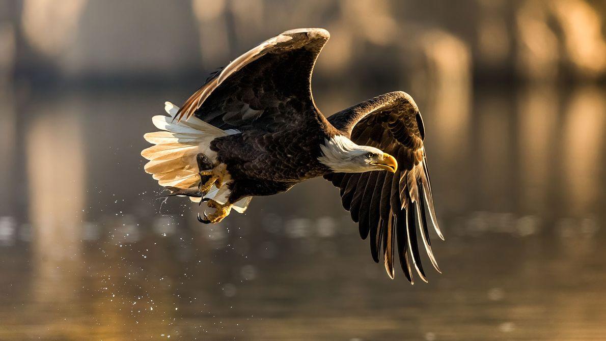 Águia-de-cabeça-branca. Rio Susquehanna, Estados Unidos.