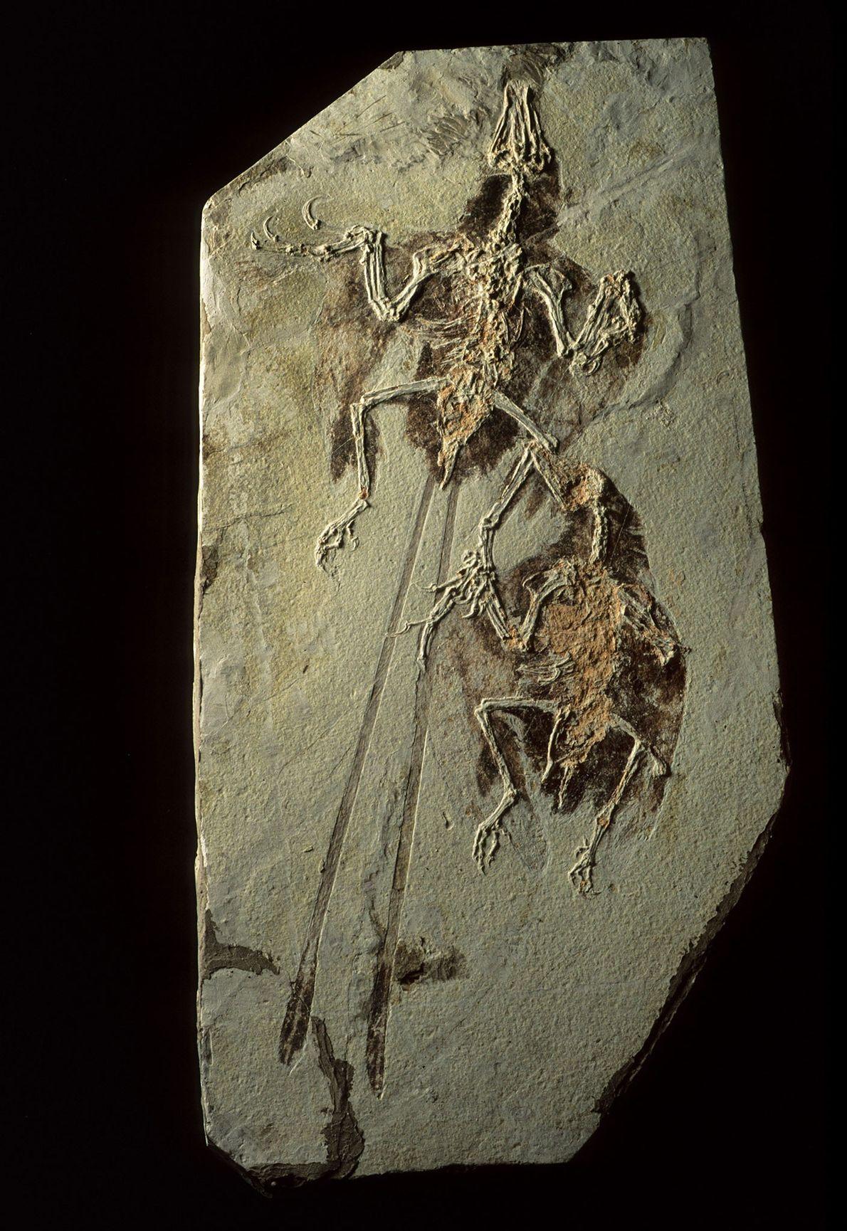 Os depósitos fósseis de Liaoning, na China, não só preservam dinossauros, mas também os primeiros pássaros, ...