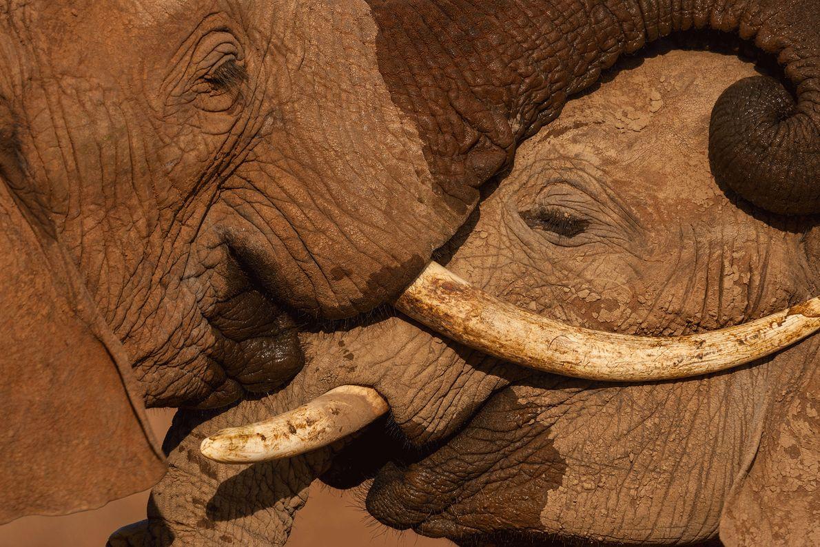 É frequente ver os elefantes mais novos a lutar e medir forças entre si. Desta forma, ...