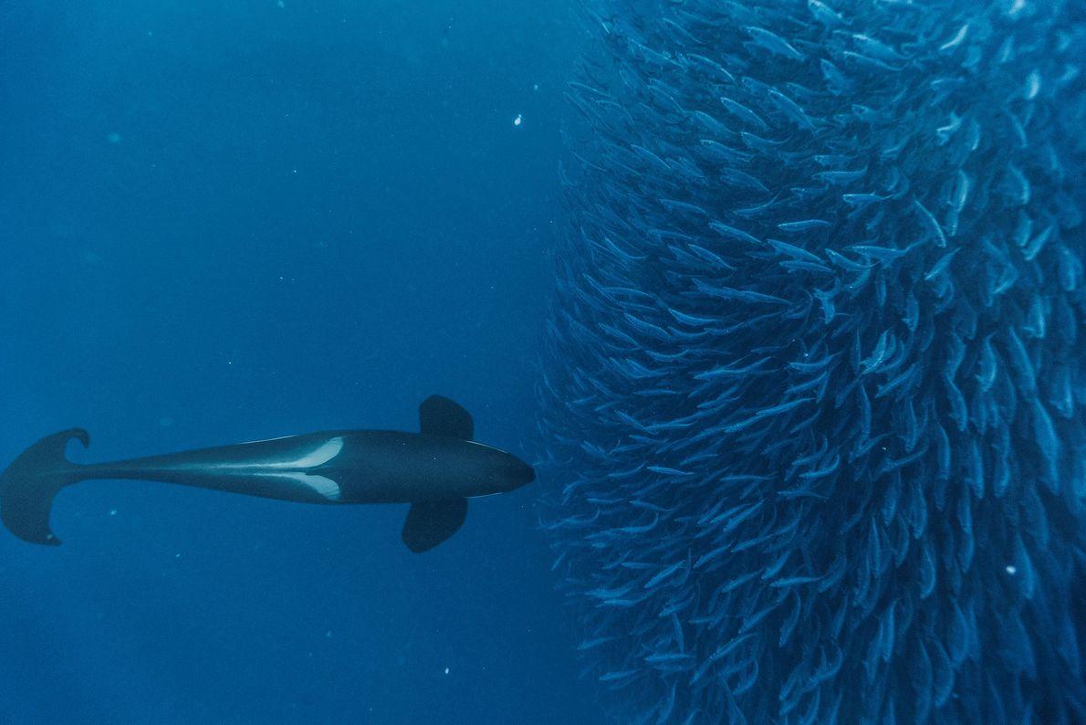 Uma orca força a subida à superfície de um cardume de arenques.