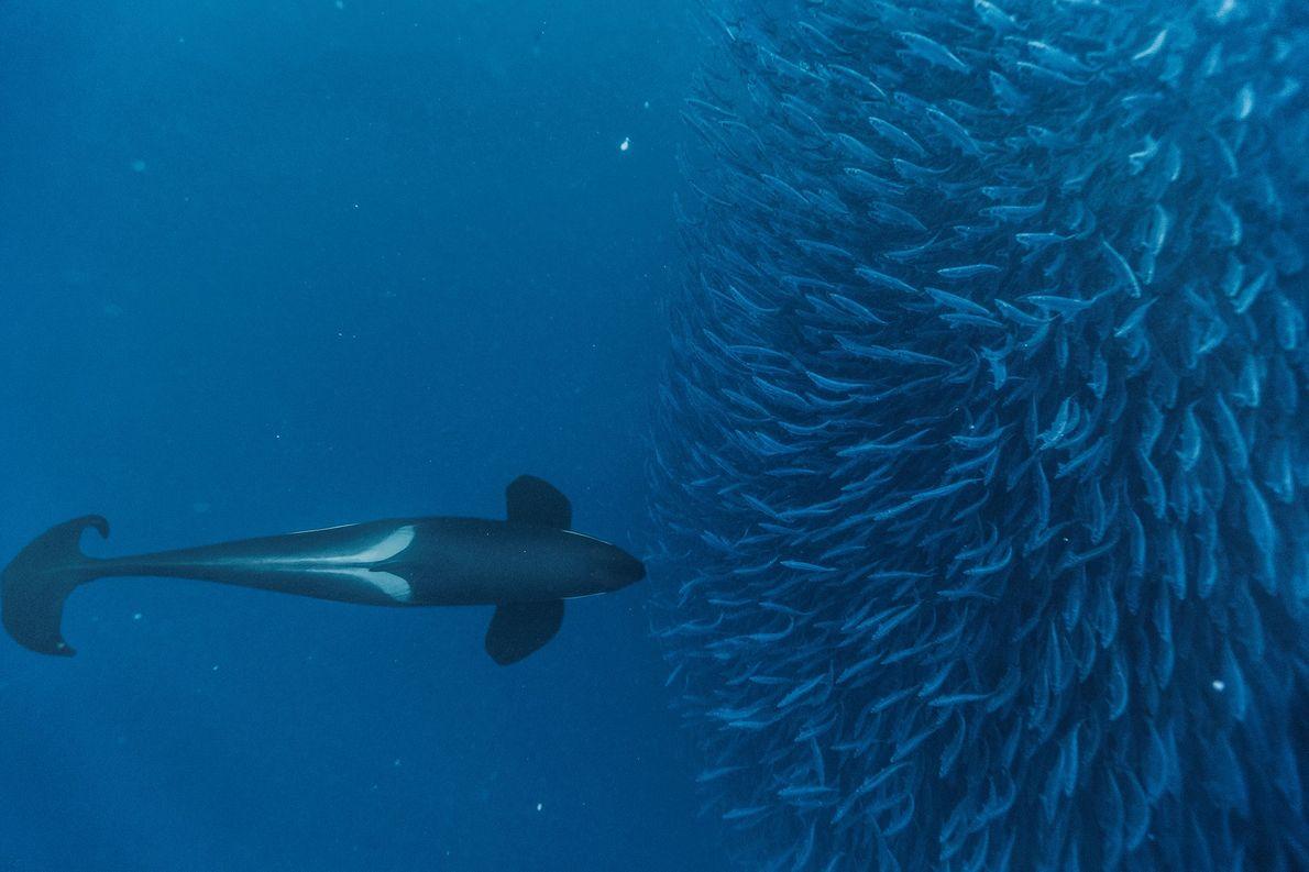 As orcas são predadores inteligentes e usam técnicas diferentes para caçar as suas presas. Na imagem, …