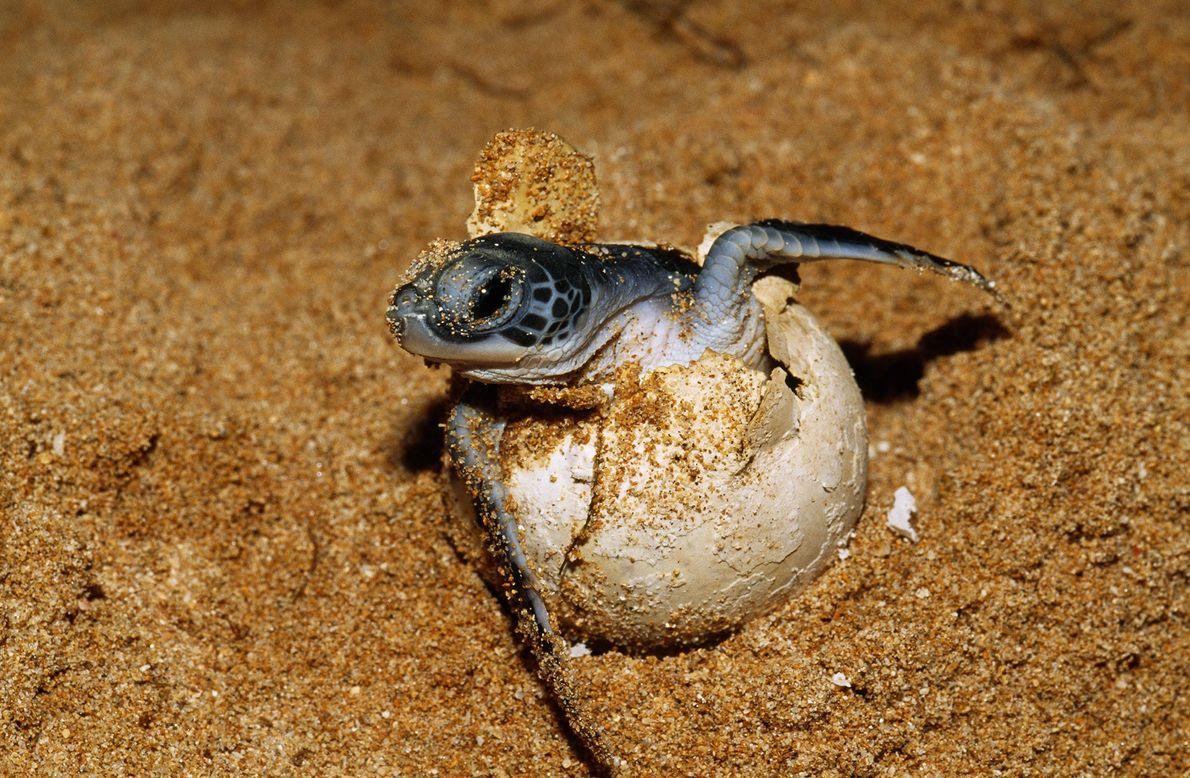 Um ovo de tartaruga-marinha.