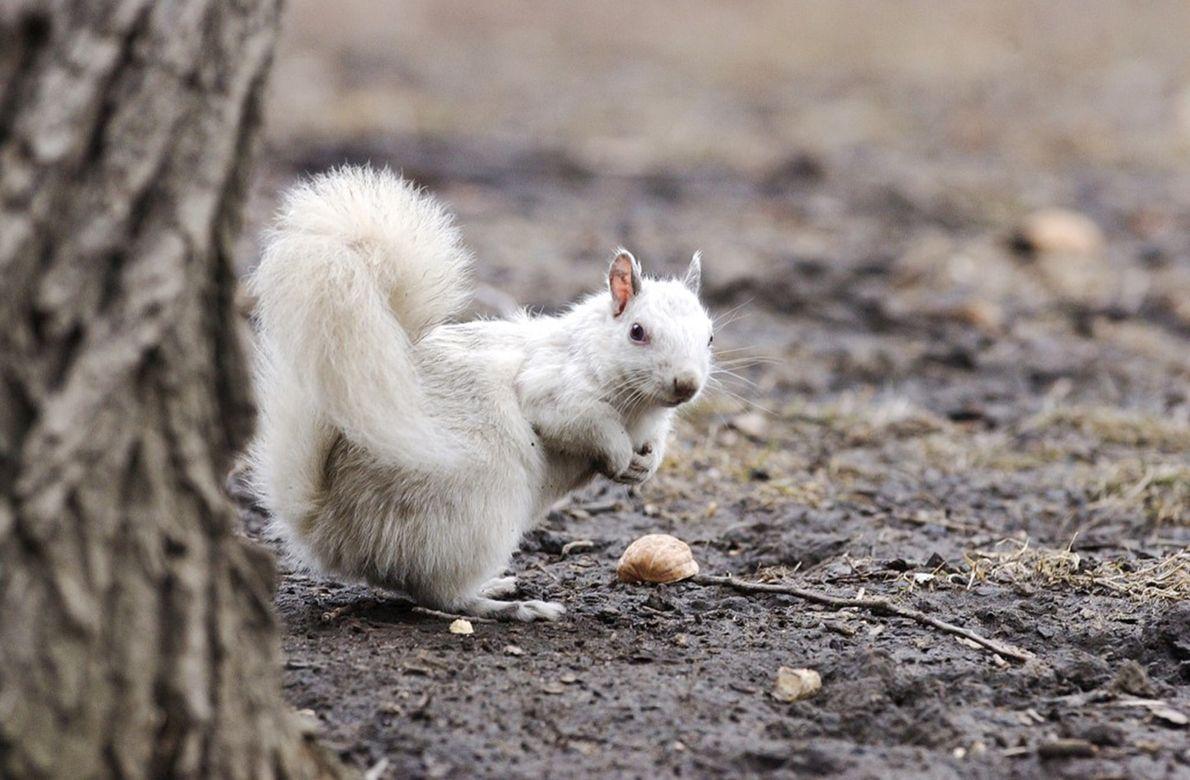 Esquilos albinos