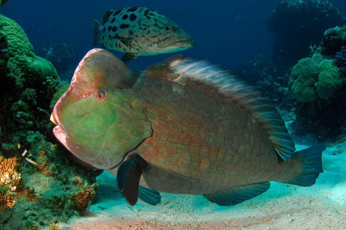 Um peixe-papagaio-verde-de-bossa e uma garoupa.