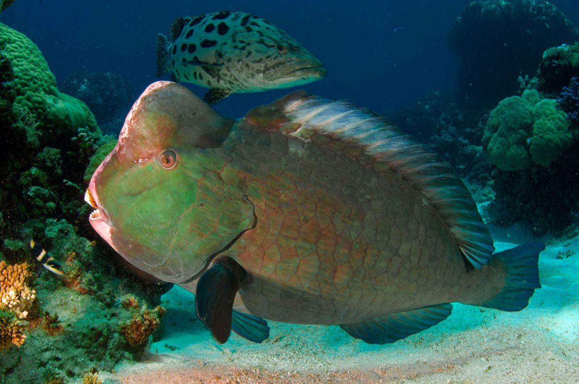 Um peixe-papagaio-verde-de-bossa e uma garoupa pairam sobre o fundo arenoso.
