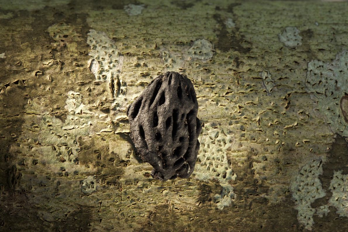 Fotografia de um caroço de pêssego