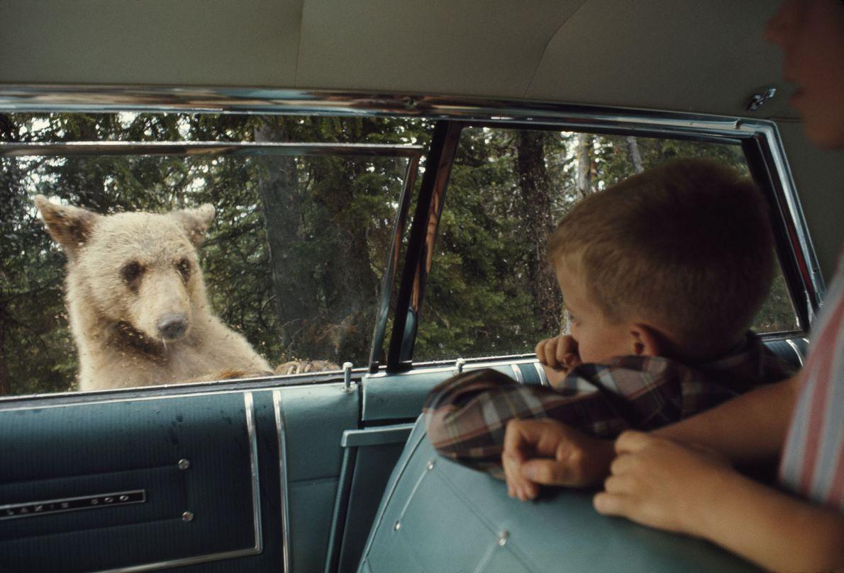 Urso à Espreita