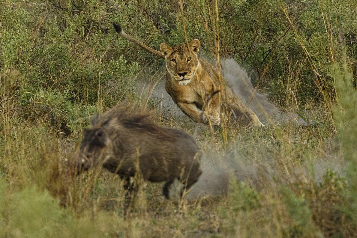 Uma leoa lança-se para apanhar a sua presa
