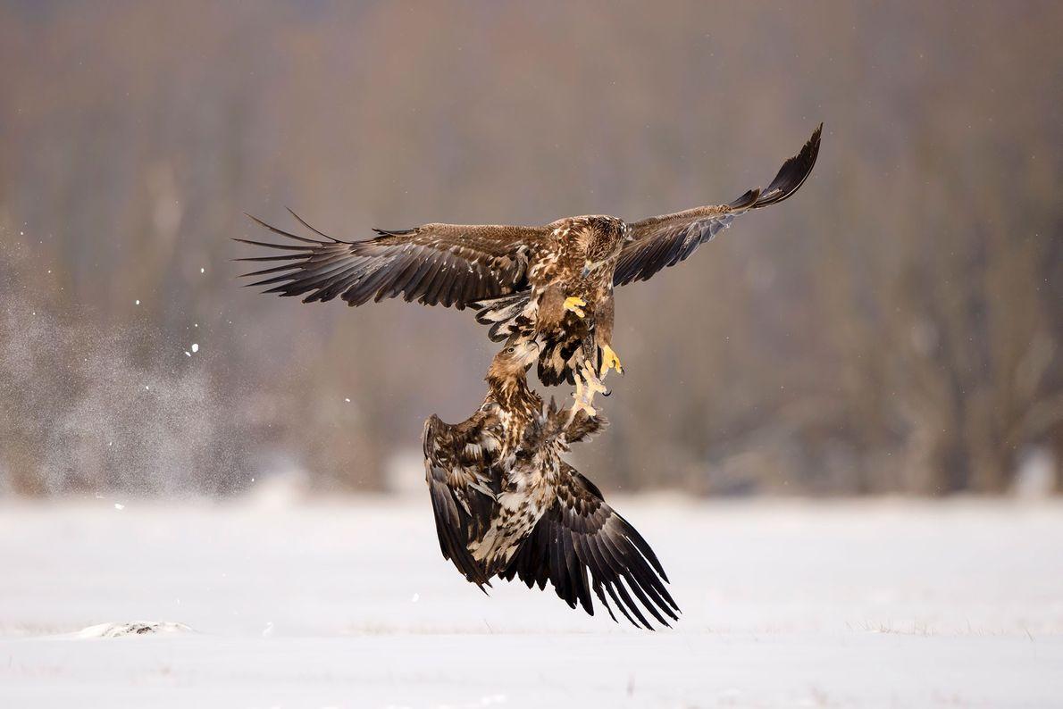Duas águias-rabalvas guerreiam na Polónia.