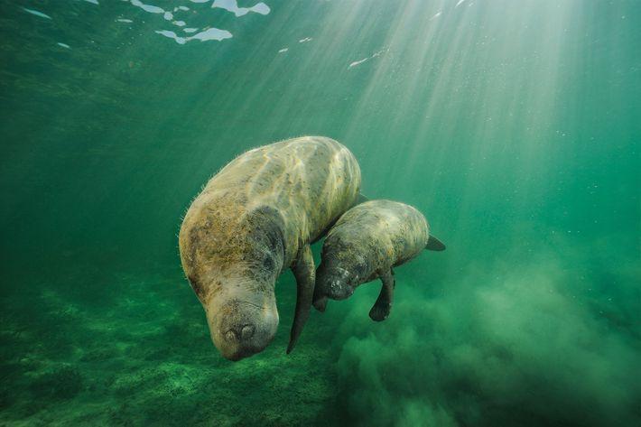 Mãe manatim e a sua cria nadam ao longo de Swallow Cay, em Belize