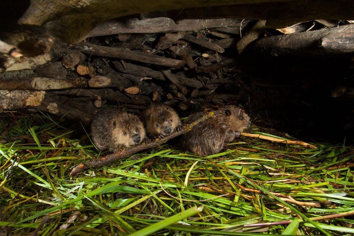 Uma colónia de castores.