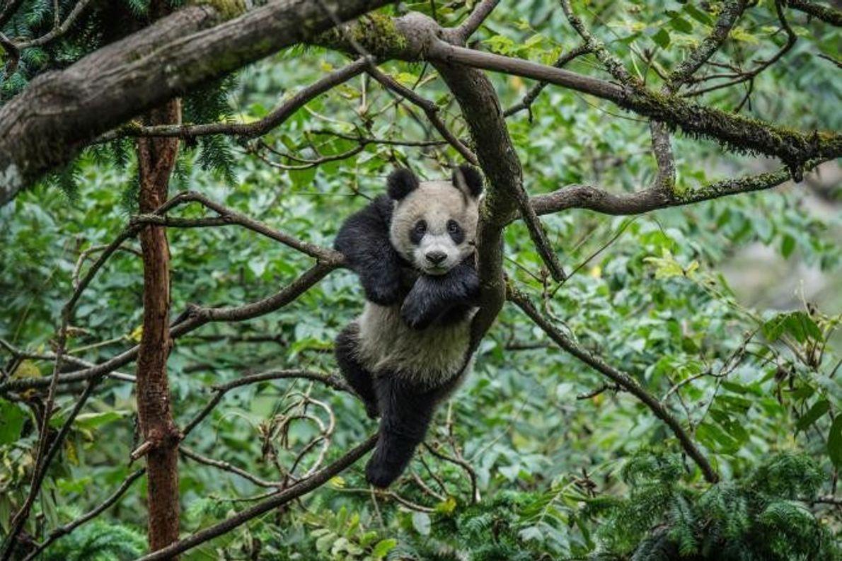 Um panda gigante brinca nas copas das árvores.
