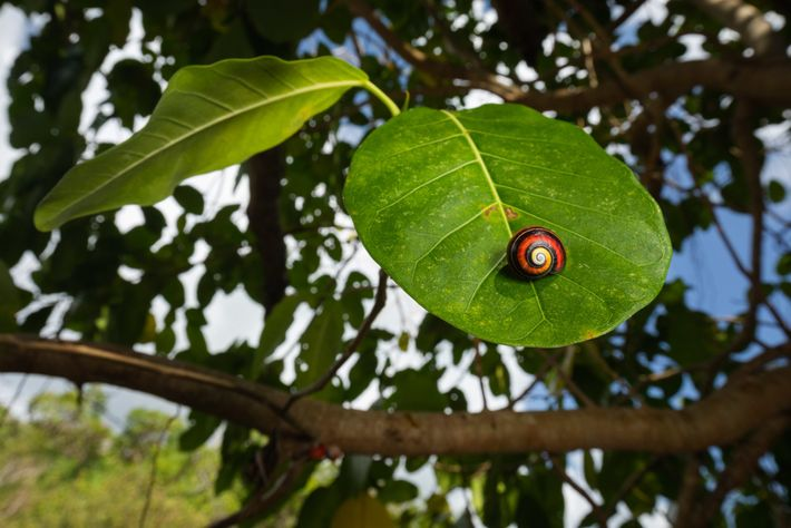 As seis espécies de caracóis pintados pertencem ao género Polymita. Este caracol pertence à espécie Polymita ...