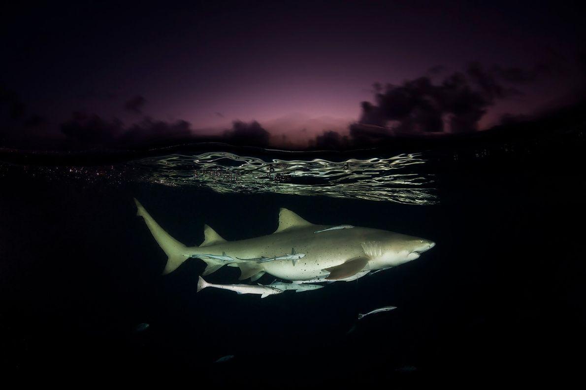 Um tubarão-limão em patrulha, ligeiramente debaixo de água no santuário de tubarões nas Bahamas.