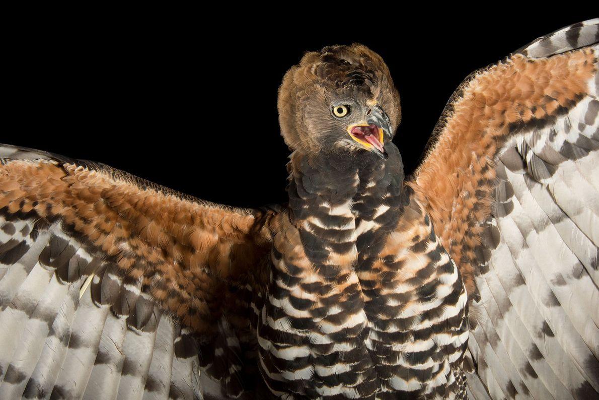 Espécies de águias - Uma águia-coroada
