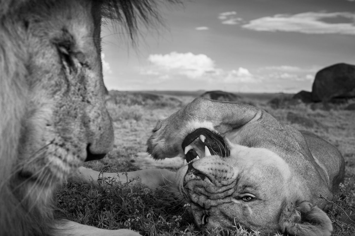 Um macho adulto, conhecido por C-Boy, e uma leoa do grupo Vumbi relaxam entre acasalamentos.