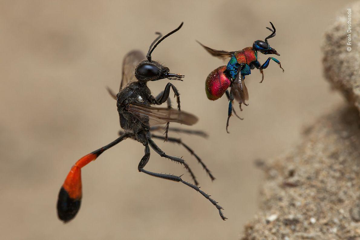 A fotografia de Frank Deschandol de duas vespas prestes a entrarem nos seus ninhos venceu a ...