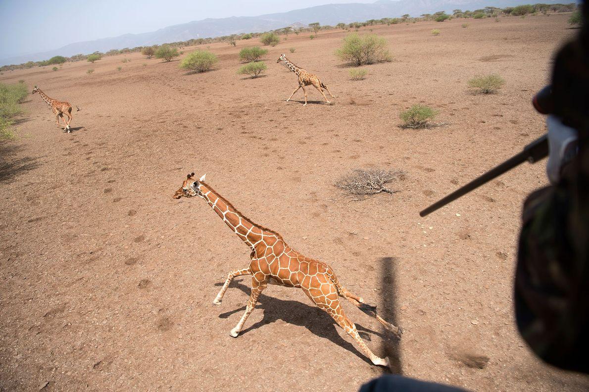 Um investigador atinge uma girafa com um dardo sedativo.