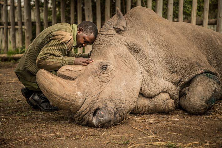 O guarda florestal Joseph Wachira, de 26 anos, conforta Sudan, o último rinoceronte-branco do norte, momentos ...