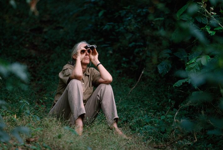 Jane Goodall já não passa muito tempo no Parque Nacional Gombe. Quando o visita, ainda sente ...