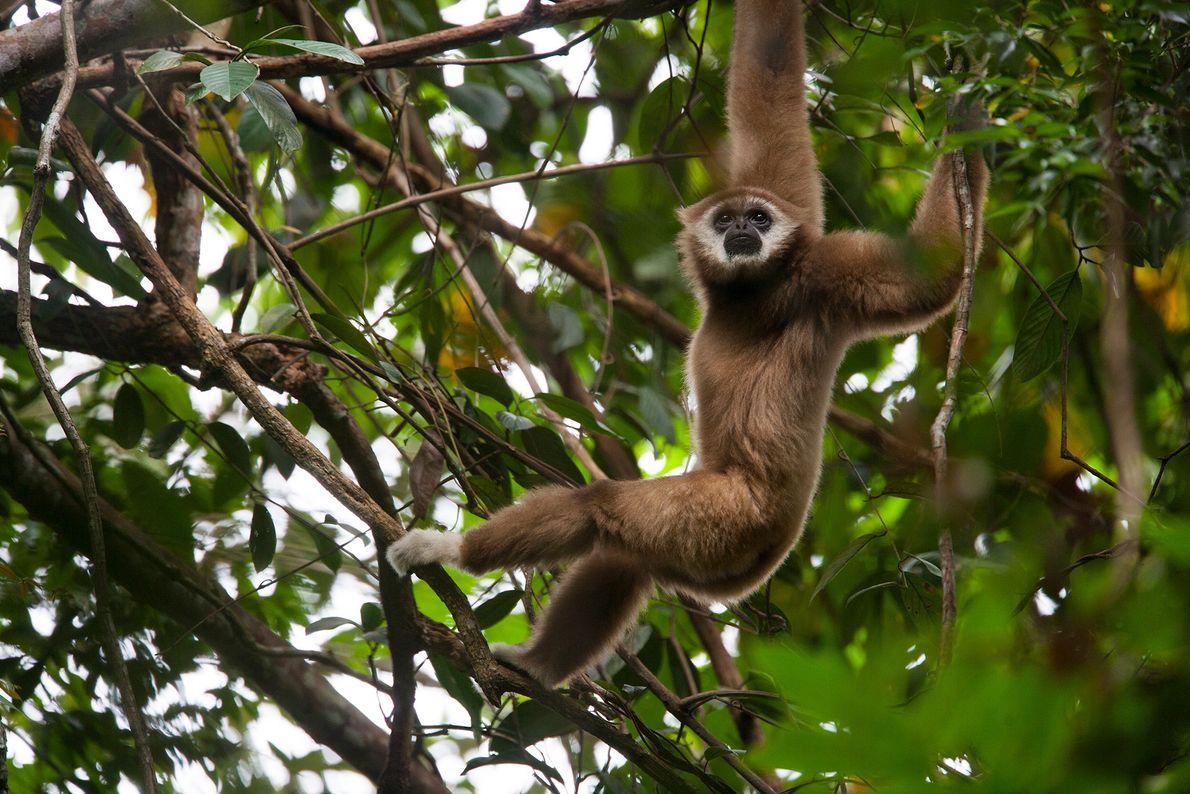 Um gibão-de-mãos-brancas, espécie em perigo crítico, pendurado nos ramos em Sumatra, na Indonésia. O seu habitat ...