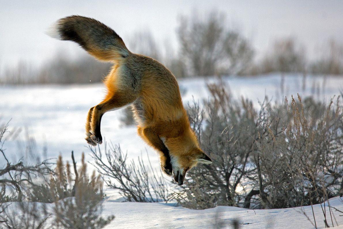 raposa vermelha caça ratazanas sob a neve