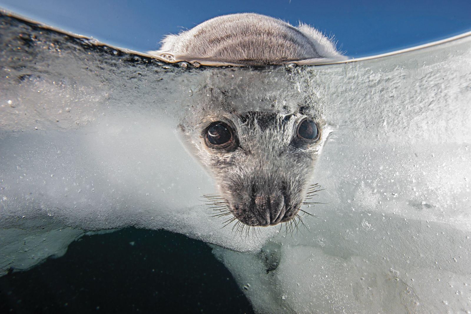 As crias de foca-harpa nascem no gelo e precisam de uma plataforma estável para sobreviver. A ...