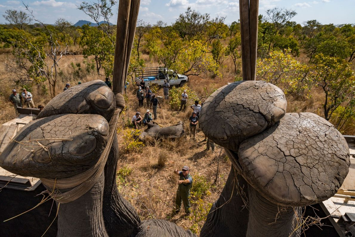 Os elefantes da Reserva de Vida Selvagem de Majete