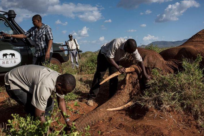 Membros da equipa dos Serviços da Vida Selvagem do Quénia e duas organizações de conservação, Save ...