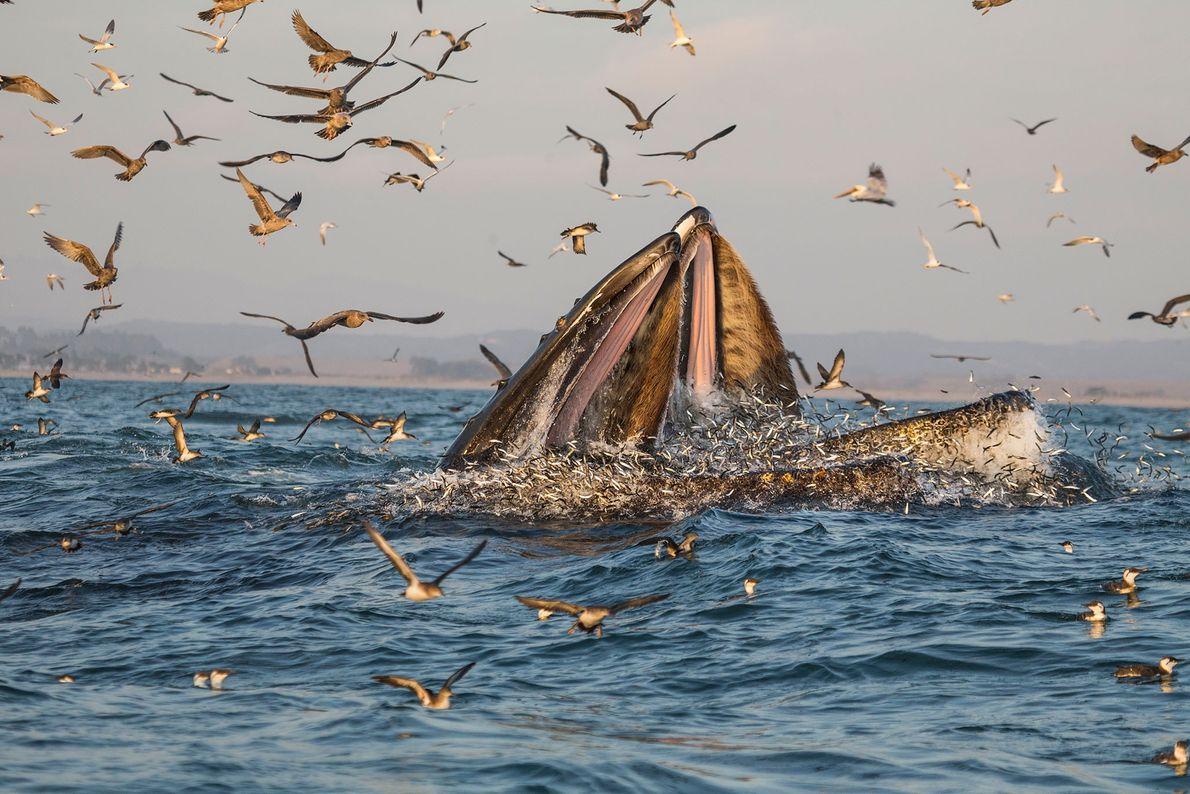 Uma baleia-jubarte a banquetear-se de peixe nas águas quentes da Baía Monterey, na Califórnia.