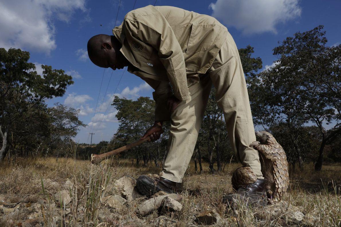 Tamuda pede a atenção do seu tratador, que o ajuda a cavar à procura de formigas. ...