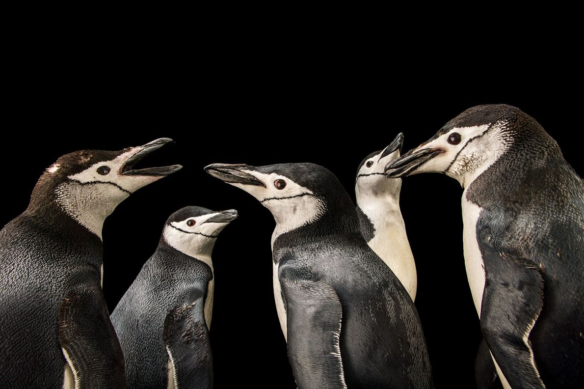 Pinguins-de-barbicha (Pygoscelis antarctica)