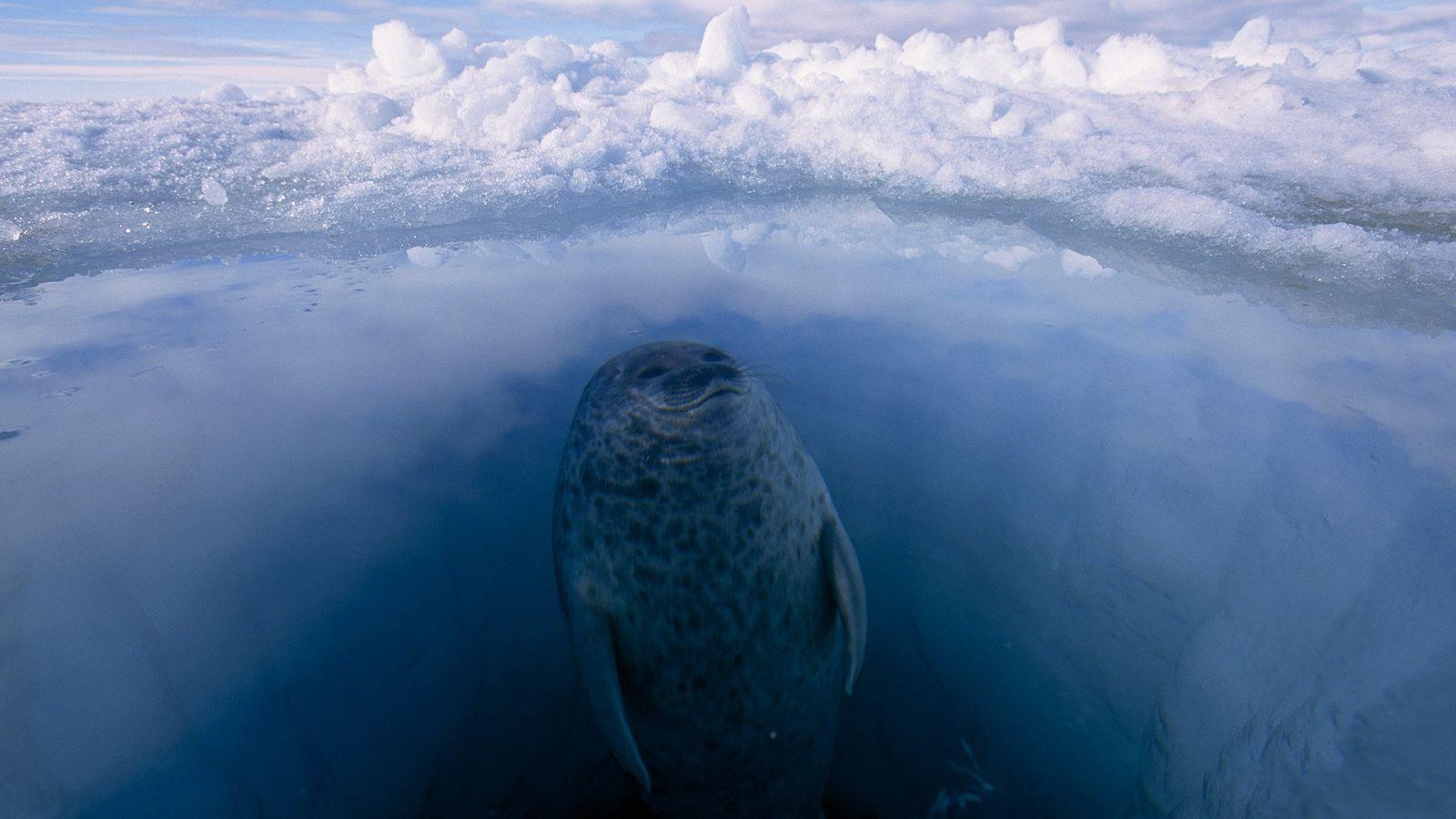 Uma foca-anelada a surgir de um buraco de gelo marinho, no Ártico. As focas-aneladas mantêm-se quentes ...
