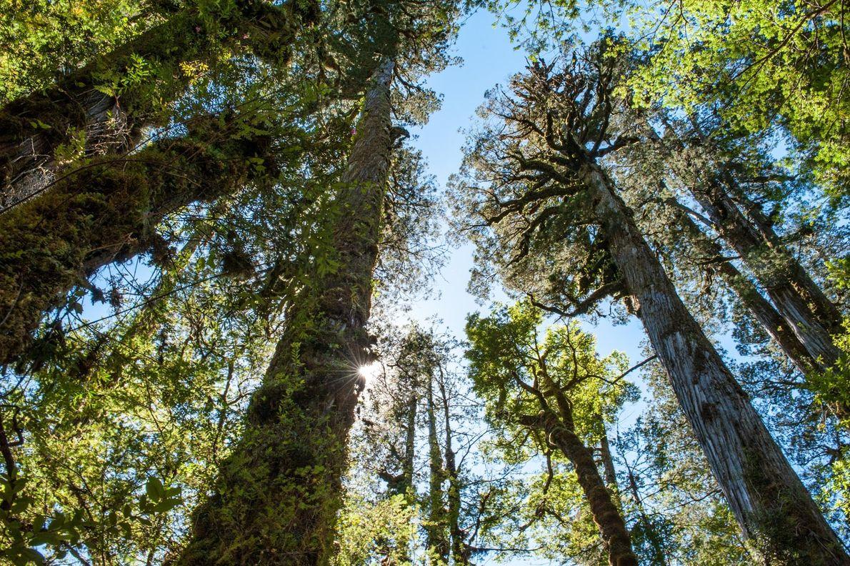 As alerces-da-patagónia são a marca registada do ecossistema de floresta tropical temperada de Valdivian, preservadas no ...