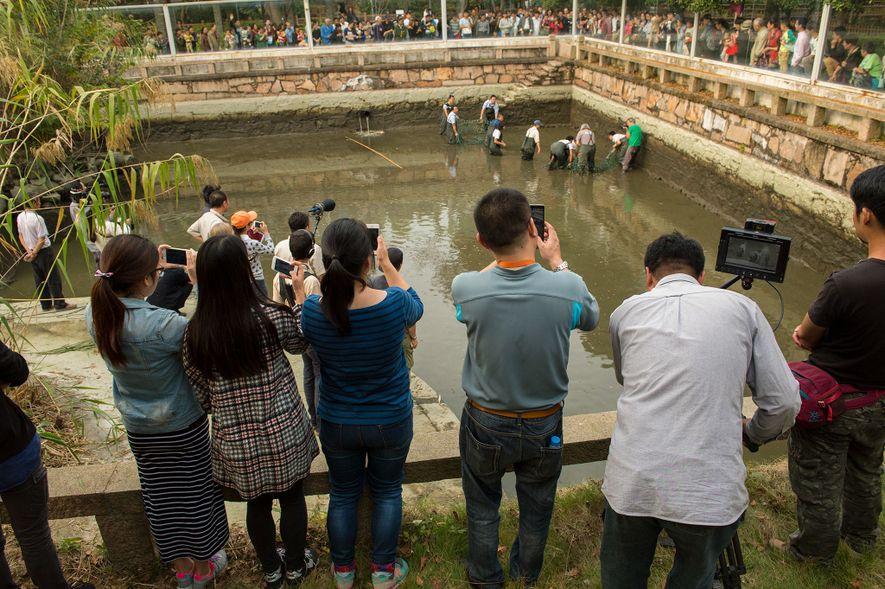 Uma multidão dispõe-se ao redor uma tartaruga gigante de carapaça mole do Yangtze, uma espécie em ...