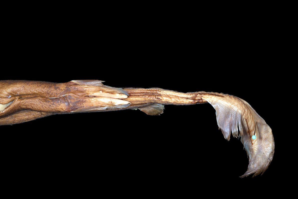 Algumas das outras caraterísticas desta nova espécie são as marcas que possui nos flancos, que ziguezagueiam ...