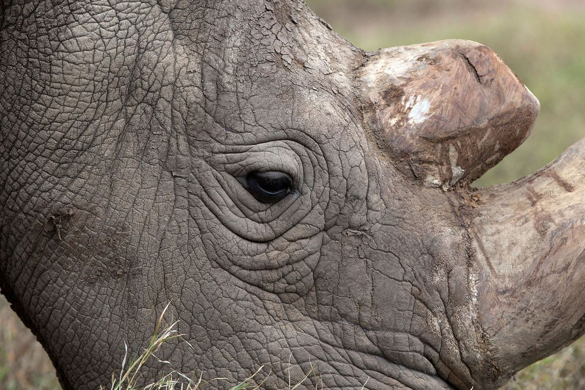 rinoceronte-branco-do-norte