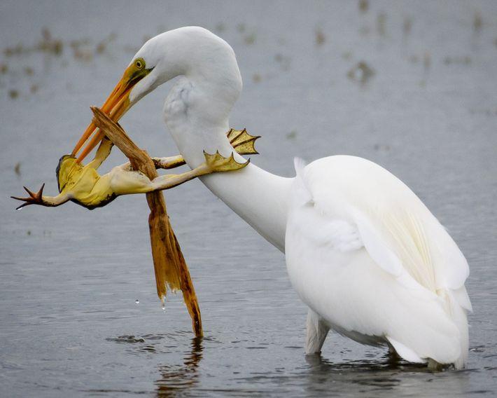 Nas terras húmidas, as garças-brancas-grandes parecem serenas e tranquilas, mas também são caçadoras ferozes, que comem ...
