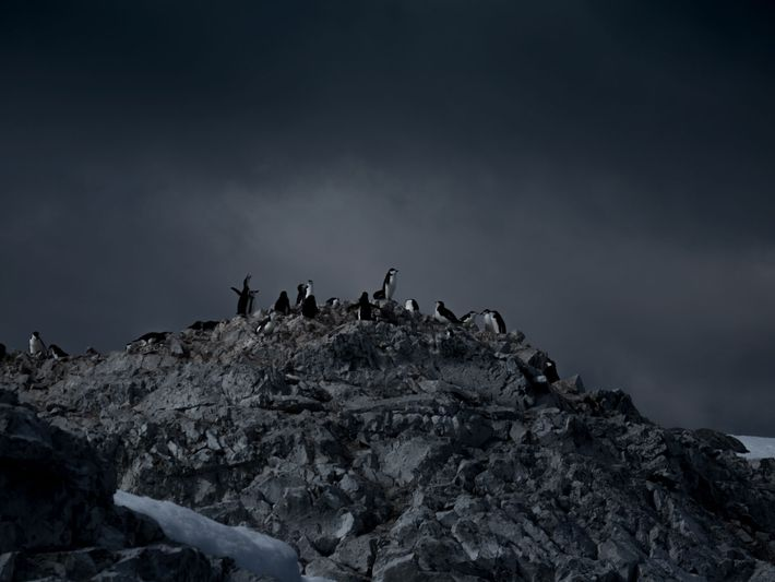 Pinguins.