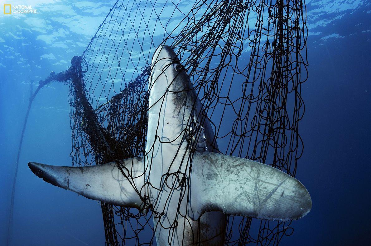 Fotografia de um tubarão preso numa rede