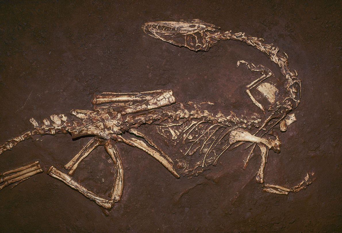 Com cerca de 200 milhões de anos, o carnívoro Coelophysis bauri