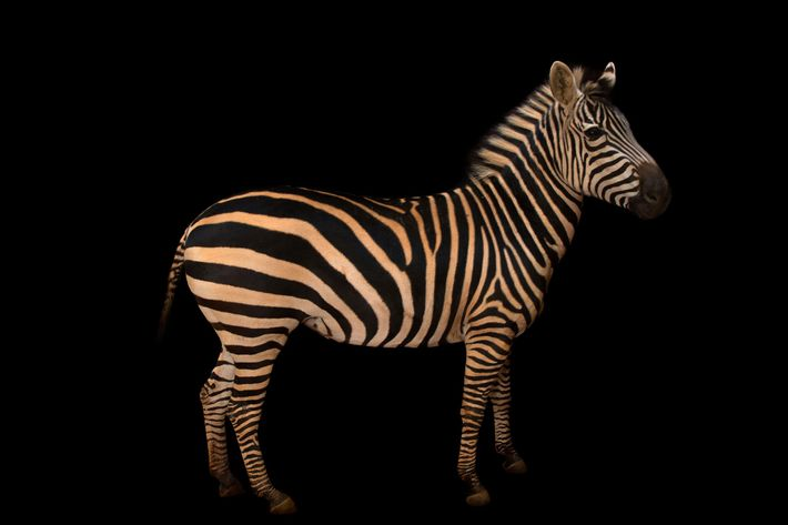 Zebra-da-planície