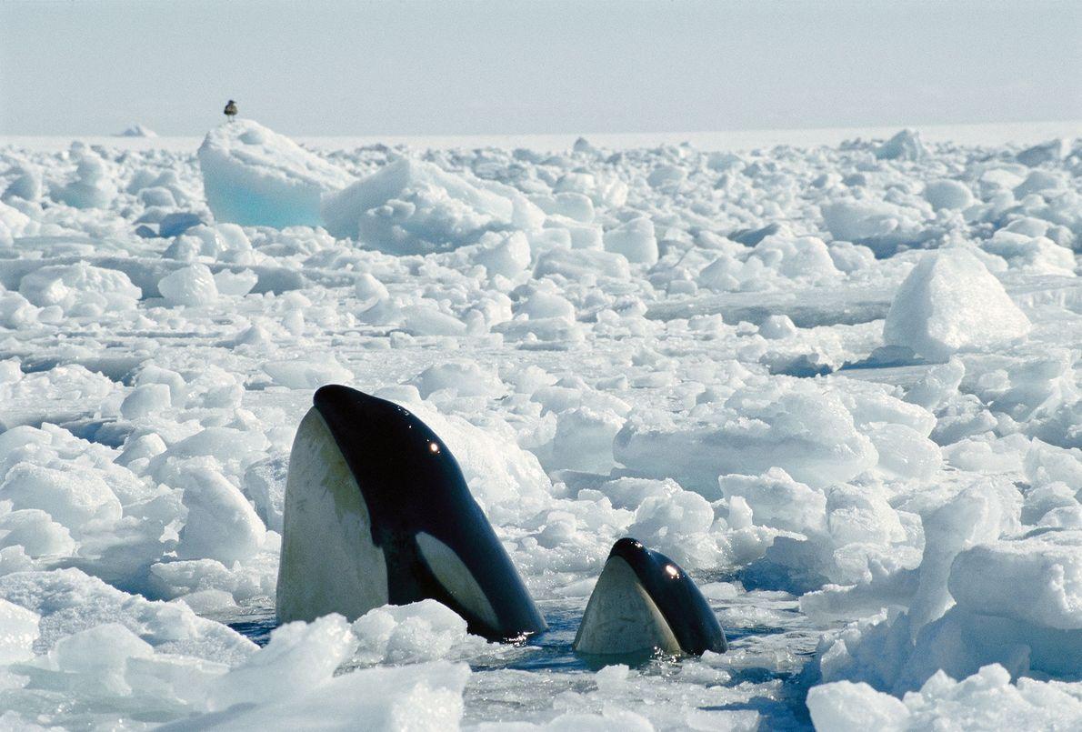 Uma progenitora e a cria encontram uma abertura no gelo para respirar.