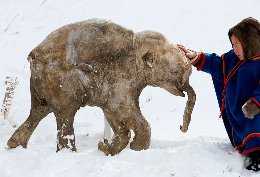 Congelado há 40.000 anos, este bezerro gigante foi descoberto em 2007 por pastores de renas na ...